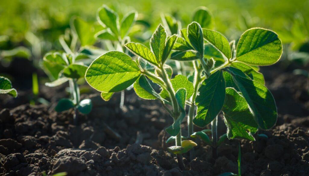 Sojabohne Pflanze